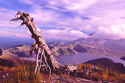 Standing Dead Tree in Mt. Margaret Backcountry, Mt. St. Helens National Volcanic Monument, Washington, US