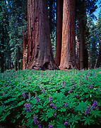 Forest floor carpeted with broad-leaved lupine, Lupinus latifolius, leading to giant sequoias, Sequoiadendron giganteum, Muir Grove, Sequoia National Park, California.
