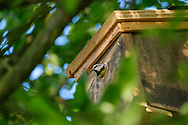 Blue-tit removing nesting material from nest-box