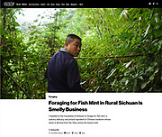 Foraging for fish mint in the mountains of Sichuan, China