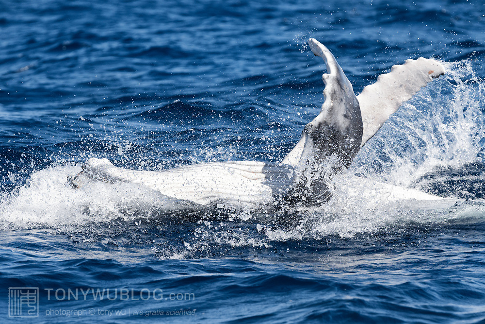 A playful female humpback whale calf (Megaptera novaeangliae australis) amusing herself at the ocean surface, here rolling over on her back and slapping her pectoral fins from side to side.