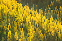 Every year, the Western Larch trees turn a bright yellow before winter sets in. They are one of the only deciduous trees with needles. This view was seen near Lolo Creek in Montana. When the sun came out for a few minutes, I had to stop and get some shots of the Larch trees as they became backlit.