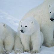 Polar Bear, (Ursus maritimus) Portrait of mother with cubs. Churchill, Manitoba. Canada.