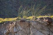 Ocotillo (Fonquieria splendens) and Brittlebush (Encelia farinosa) springtime atop a rock ledge in the Anza Borrego Desert State Park, California, USA
