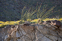 Ocotillo (Fonquieria splendens) and Brittlebush (Encelia farinosa) springtime atop a rock ledge in the Anza Borrego Desert State Park, California, USA