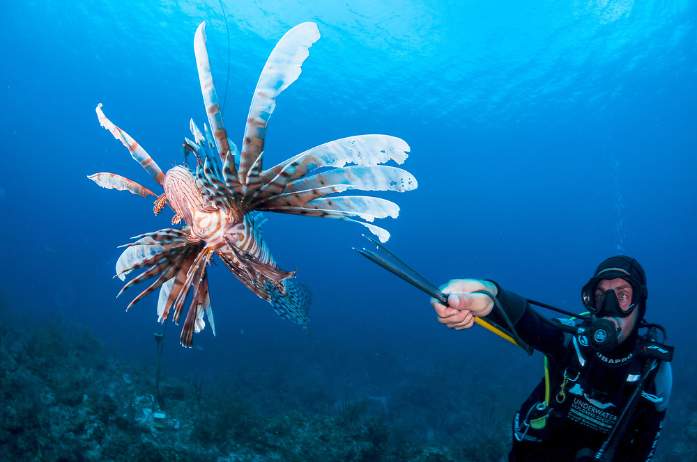 A scuba diver spears and invasive lionfish (Pterois volitans) off Grand Bahama Island, Bahamas. Spearing on scuba is illegal in The Bahamas, however, a special exemption was made for lionfish.