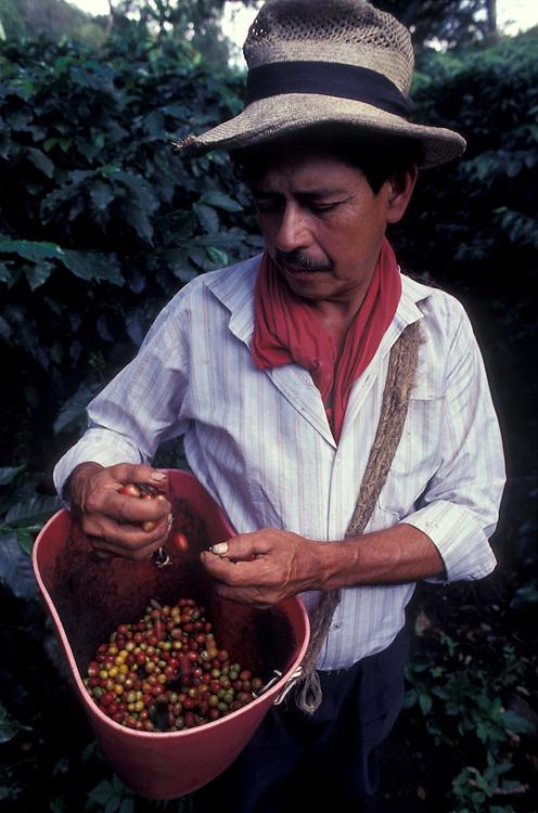 Harvesting coffee on a plantation near Armenia, Colombia