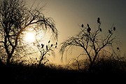 Turkey Vultures settle in mesquite trees along the Tanque Verde Creek, a watershed in the Sonoran Desert, Tucson, Arizona, USA.