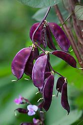 Lablab purpureus 'Ruby Moon' - Hyacinth bean showing flowers and seed pods. Syn. Dolichos lablab