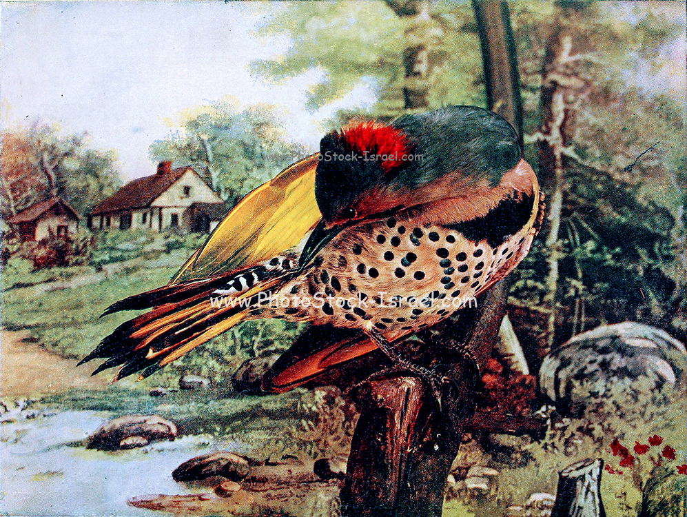 The northern flicker (Colaptes auratus) or common flicker is a medium-sized bird of the woodpecker family. It is native to most of North America, parts of Central America, Cuba, and the Cayman Islands, and is one of the few woodpecker species that migrate. From Birds : illustrated by color photography : a monthly serial. Knowledge of Bird-life Vol 1 No 3 March 1897