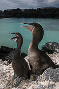 Flightless Cormorants (Phalacrocorax harrisi) Nesting<br /> Isabela Island. Western Isles of Galapagos Islands<br /> ECUADOR.  South America<br /> These are the largest of the world's 29 cormorant species and the only one that has lost the power of flight. They live very locally to the shores of Isabela and Fernandina Islands and although they can not fly still retain vestigial wings which help them to balance when jumping from rock to rock. As they do not produce much oil to waterproof their wings they must dry out their wings when they return to shore. Nests are constructed of seaweed, flotsam and jetsam and are never more than a few meters from shore. Usually up to 3 eggs are layed.<br /> ENDEMIC TO GALAPAGOS