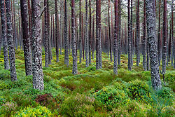 View of trees in woodland at Glenmore in Cairngorms National Park, Scotland, UK