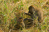 A baby baboon and it's mother, Tarangire National Park, Tanzania