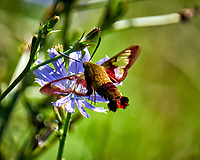 Hummingbird Clearwing Moth Feeding on a Chicory Flower. Image taken with a Fuji X-T1 camera and 100-400 mm OIS lens.
