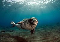 "Monk Seal <br /> Desertas Islands – Deserta Grande - Madeira, Portugal. August 2009.<br /> Monk Seal (Monachus monachus), male identified by parque Natural da Madeira as ""metade""."