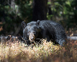 Black Bear, signal mountain, Grand Teton National Park, Jackson Hole, Wyoming