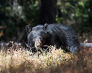 Black Bear, signal mountain, Grand Teton National Park, Jackson Hole, Wyoming