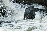An adult American black bear fishing for spawning salmon at the falls in Anan Creek at the Tongass National Forest, Alaska. Anan Creek is one of the most prolific salmon runs in Alaska and dozens of black and brown bears gather yearly to feast on the spawning salmon.