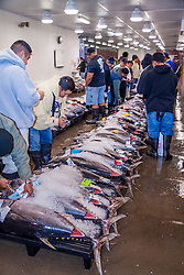 buyers, checking the quality of highly prized ahi or bigeye tunas, Thunnus obesus, on pallets on the auction floor, Honolulu Fish Auction by United Fishing Agency, the only fresh tuna auction in the US, up to 160,000 pounds of fish can be auctioned in a day, Pier 38, Commercial Fishing Village, Honolulu, Oahu, Hawaii, USA