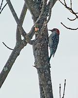 Red-bellied Woodpecker (Melanerpes carolinus). Image taken with a Nikon N1V3 camera and 70-300 mm VR lens.