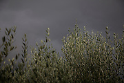 Olive leaves on trees contrast against a stormy steel grey sky in Foligno, Umbria, Italy.
