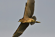 Young Black-crowned Night Heron, Nycticorax nycticorax, flying in front of light sky background in  East Lake Greenway park, Wuhan, Hubei, China