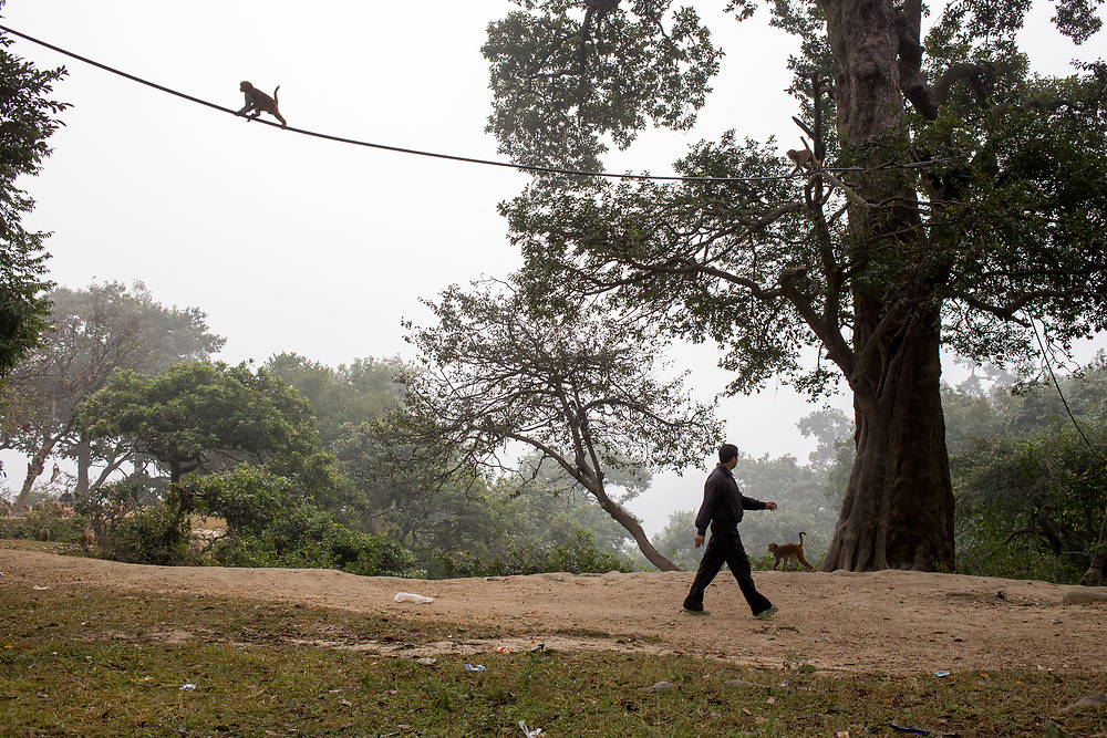 A large number of monkeys is living in the forest surrounding Pashupatinath temple in Kathmandu, Nepal, wich is widely used by locals for walk and exercising early in the morning.
