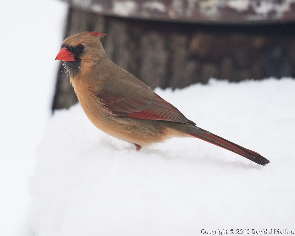 Female Northern Cardinal. Image taken with a Nikon D5 camera and 600 mm f/4 VR lens
