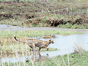 Tanzania, Ngorongoro Conservation Area, Alert Cheetah,
