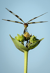 A dragonfly perches on a sunflower as it oversees its territory along the 1.5-mile Gayfeather Trail in the Regal Prairie Natural Area located in Prairie State Park. Dragonflies hunt mosquitoes and other small flying insects. Prairie State Park, located near Liberal, Mo. is Missouri's largest remaining tallgrass prairie. The park's nearly 4,000 acres is home to bison and elk. Panoramic hillsides of wildflowers such as prairie blazing star, sunflowers, and Indian paintbrush provide a canvas of color. In the fall, prairie grass such as big bluestem and Indian grass may tower as high as 8 feet tall. <br /> <br /> Tallgrass prairie once covered more than 13 million acres of Missouri's landscape. Today, less than one percent remains. The prairie at Prairie State Park remains because the rocky land was too difficult to plow, which protected it from being farmed. Hiking, animal viewing, camping, birdwatching, and photography are some of the activities that the park affords. <br /> <br /> The Regal Prairie Natural Area is a 240-acre state natural area within the park that is especially noted for its wildflower display. The Nature Conservancy and the Missouri Prairie Foundation provided funding for the purchase of much of the park's acreage. The area was dedicated as a state park in 1982.