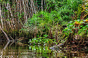Water plants and other vegetation along the rim of a small river in the rainforest of eastern Ecuador.