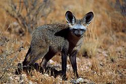 Sept. 29, 2015 - Bat-eared Fox, Kalahari Gemsbok Park, South Africa  (Credit Image: © Sator, Whj/DPA via ZUMA Press)