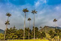 El Bosque de Las Palmas Landscapes of  palm trees in Valley Cocora  near Salento Quindio in Colombia South America