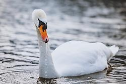 THEMENBILD - ein Hoeckerschwan am Zeller See, aufgenommen am 09. Maerz 2021 in Zell am See, Österreich // a mute swan at the lake Zell, Zell am See, Austria on 2021/03/09. EXPA Pictures © 2021, PhotoCredit: EXPA/ JFK