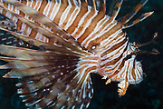 Volitans or Black lionfish (Pterois Volitans) or Red Firefish - Agincourt reef, Great Barrier Reef, Queensland, Australia <br />