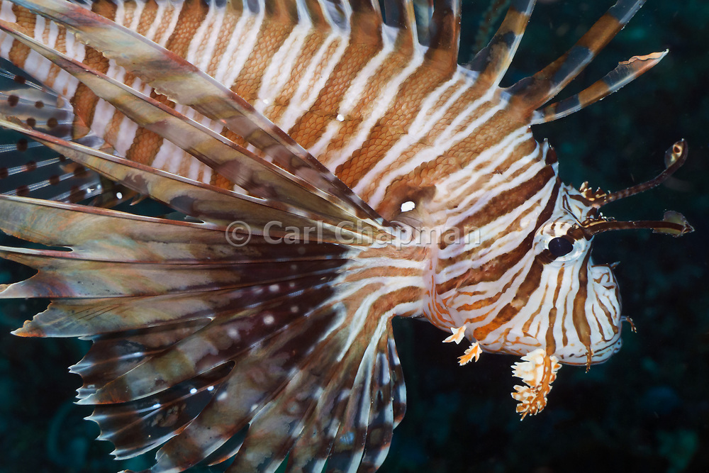 Volitans or Black lionfish (Pterois Volitans) or Red Firefish - Agincourt reef, Great Barrier Reef, Queensland, Australia <br /> <br /> Editions:- Open Edition Print / Stock Image