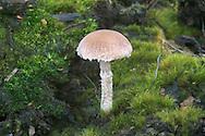 Psathyrella pennata