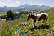 Grazing pony on the Siusi plateau, above the South Tyrolean town of Ortisei-Sankt Ulrich in the Dolomites, Italy. The Alpe di Siusi is the biggest high-alpine pasture in Europe with a surface of 57 km² and its altitude range from 1680 to 2350 m above sea level. This high-alpine pasture is located in the heart of the Dolomites. A mostly older generation of farmers work the land in this high area, known for its summer hiking trails and skiing pistes.