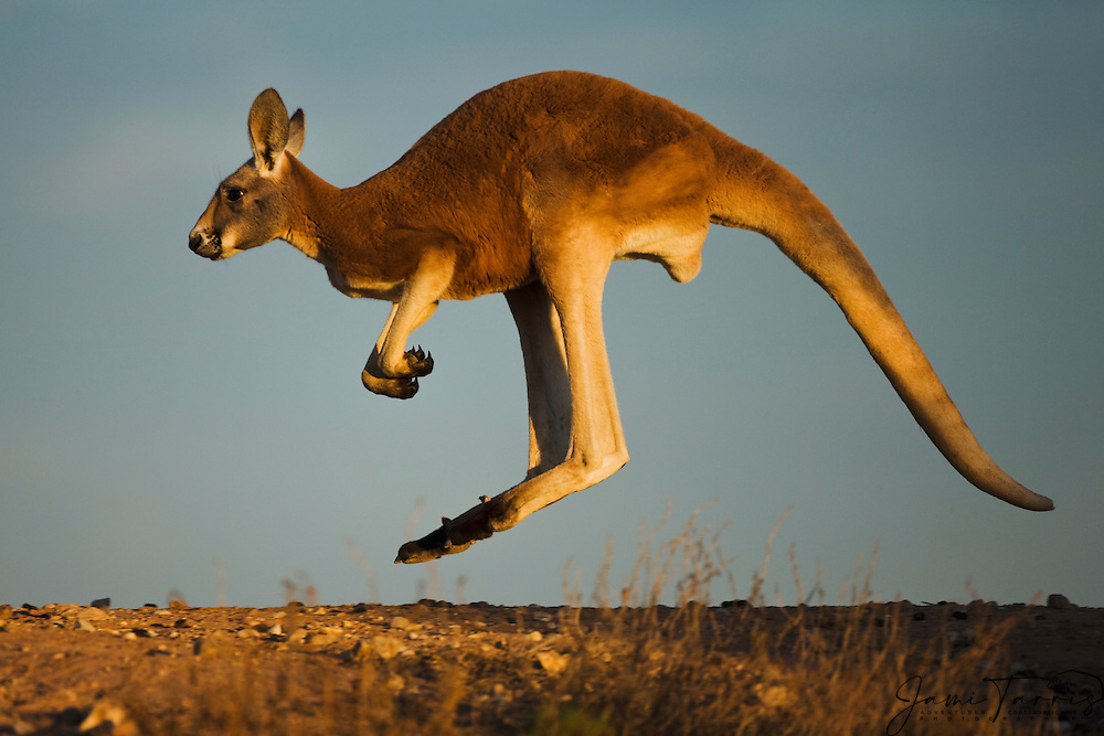 An adolescent male red kangaroo  (Macropus rufus)  hopping on a ridge in warm morning light,  Sturt Stony Desert,  Australia