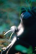 Celebes Celebes Crested Macaque is spending a lot of time with grooming. | Schopfmakaken verbringen viel Zeit mit der Fellpflege.