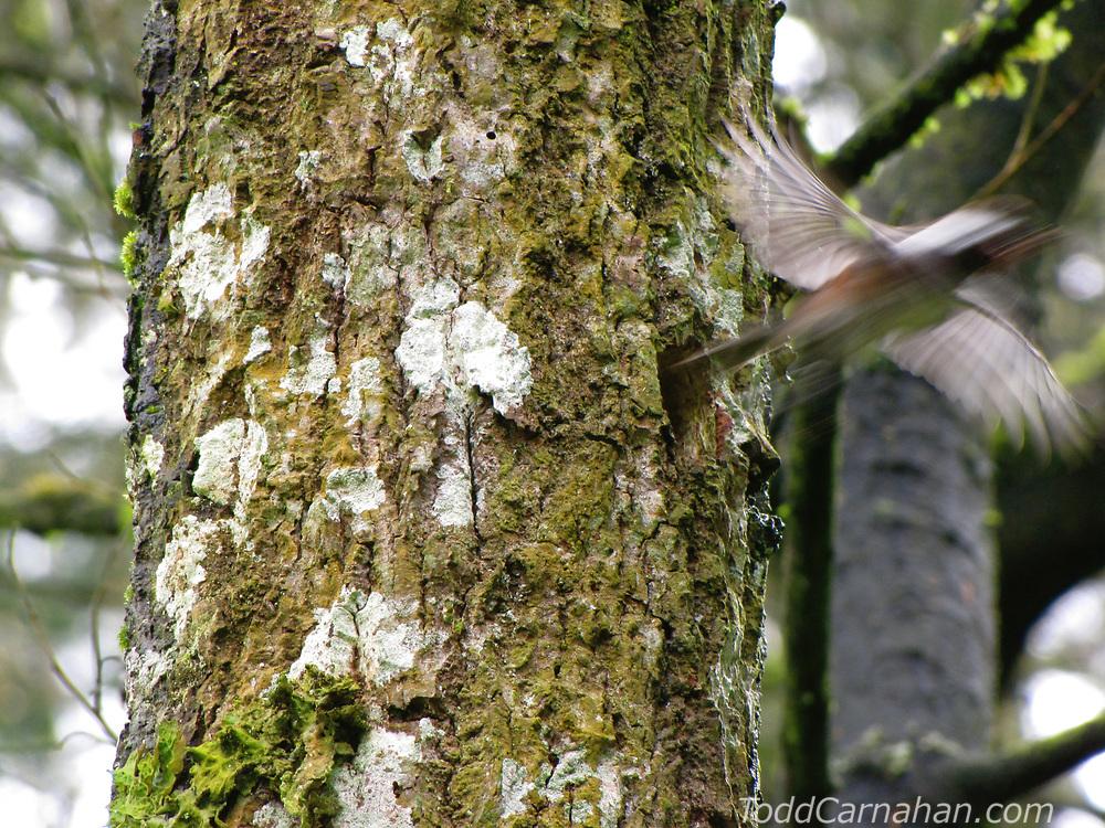 chickadee nesting