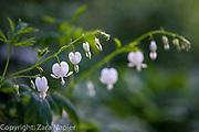 Back Garden - Dicentra spectabilis 'Alba', Clover Cottage
