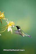 01162-05216 Ruby-throated Hummingbird (Archilochus colubris) male on Yellow Columbine (Aquilegia chrysantha) Shelby Co.  IL