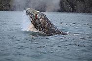 Gray whale, Eschrichtius robustus, Chukotka, Siberia, Russia