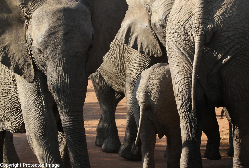 An elephant herd near the Masai Mara's Keekorok Airstrip.<br /> Photo by Shmuel Thaler <br /> shmuel_thaler@yahoo.com www.shmuelthaler.com