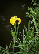 A yellow flag iris blooming at the Stony Brook Mill in Brewster.