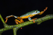 Splendid Leaf Frog (Cruziohyla calcarifer)<br /> CAPTIVE<br /> West Ecuador<br /> ECUADOR. South America<br /> Threatened species due to habitat loss.<br /> RANGE: Colombia, Costa Rica, W Ecuador, Nicaragua, Panama,  Tropical and subtropical humid lowlands. 30-170m.<br /> Gliding frog