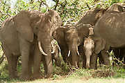 Africa, Tanzania, Ngorongoro Ngorongoro Conservation Area (NCA) A herd of African Bush Elephant (Loxodonta africana) rest in the shade