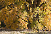 Close-up of lower half of yellow cottonwood, Los Luceros, New Mexico<br />