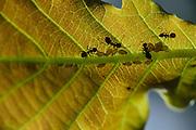 Ants looking for aphids on an oak leaf National Park Saxon Switzerland (Saechsische Schweiz). Europe, central europe, Germany | Ameisen bewachen Blattläuse auf einem Eichenblatt